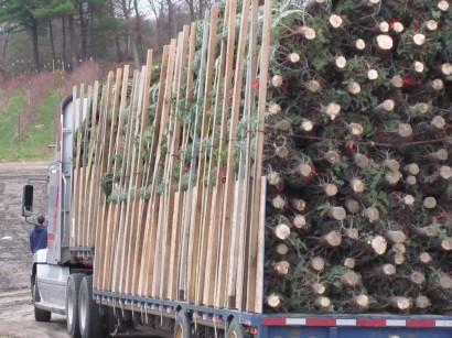 Truckload of cut christmas trees