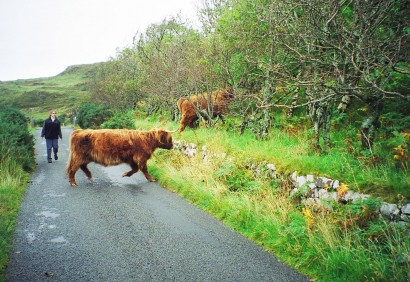 highlandcattle2