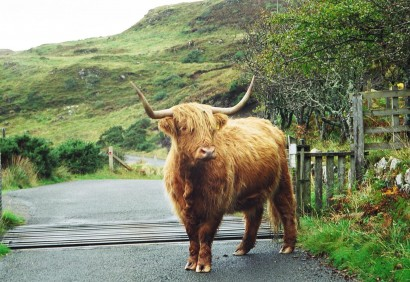 highlandcattle1