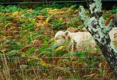highlandcattle3